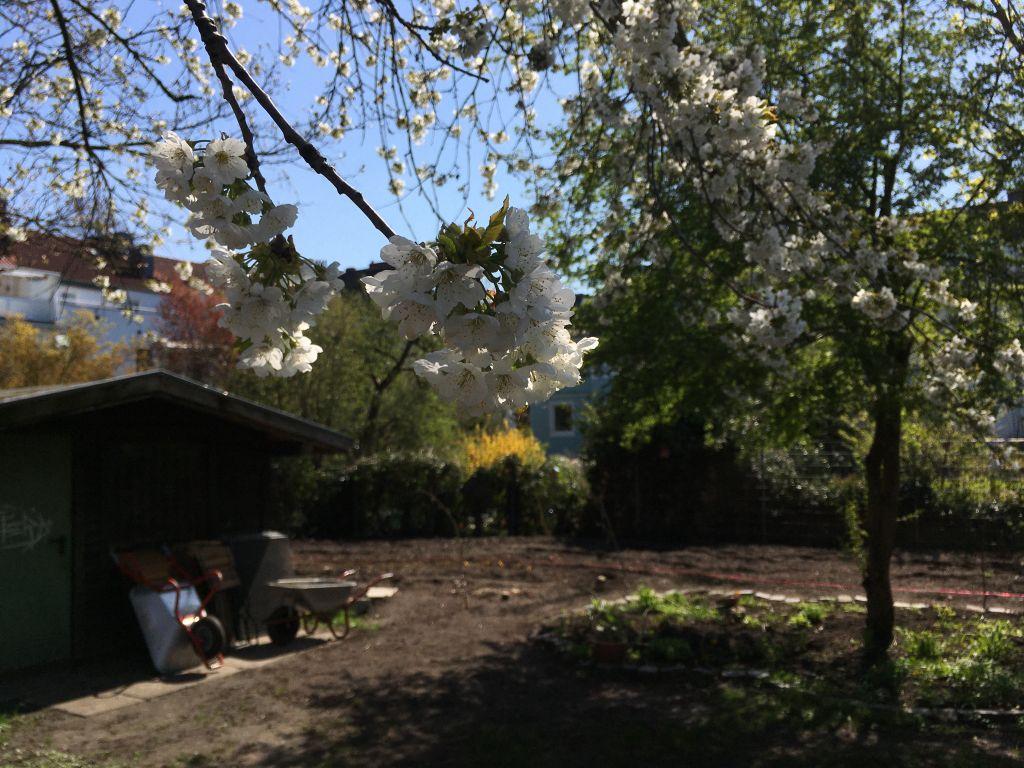 Kirschblüte im Schulgarten